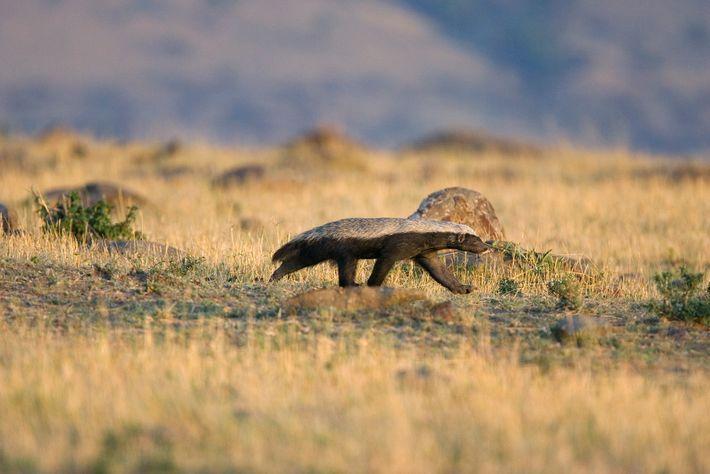 Os texugos-do-mel, como este em Masai Mara, na verdade não são texugos, mas parentes dos texugos.