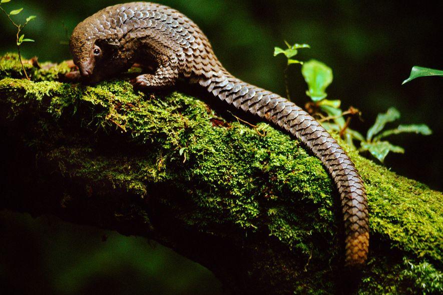 Pangolins, como este da espécie Phataginus tetradactyla da República Democrática do Congo, são os únicos mamíferos ...