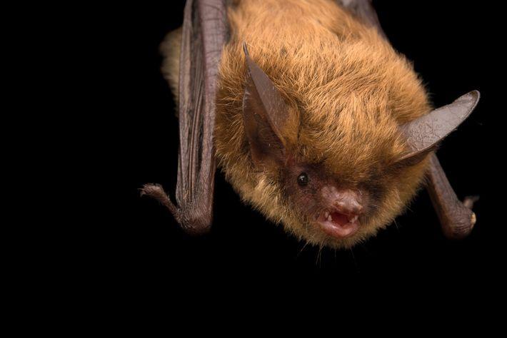 Um vulnerável morcego de orelhas longas do norte, Myotis septentrionalis, recebe cuidados na Nebraska Wildlife Rehab.