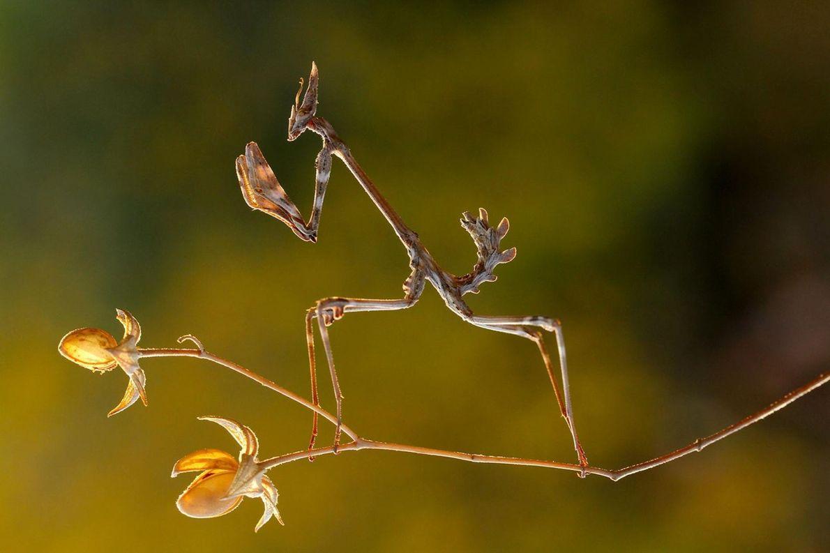 animais-camuflados-bicho-pau