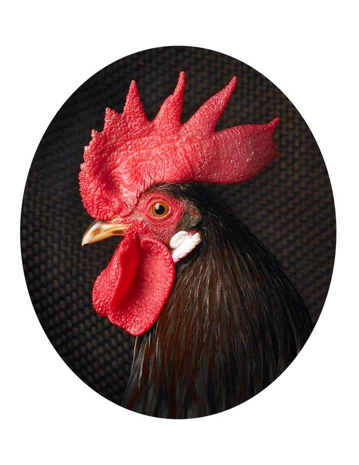 galinhas-galo-legorne