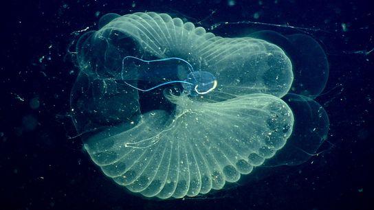 Este larvacea é um outro tipo de animal que vive nas profundezas e que, involuntariamente, transporta ...