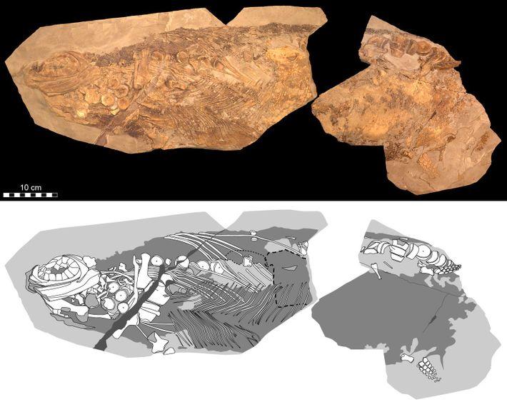 Representações fotográficas (superior) e diagramáticas (inferior) exibem detalhes do Stenopterygius examinado no novo estudo. O crânio ...