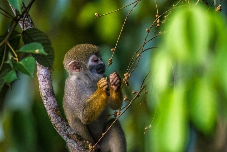 Macaco-de-cheiro (Saimiri sp.) na Reserva de Desenvolvimento Sustentável Mamirauá, município de Tefé (AM). A maioria dos ...