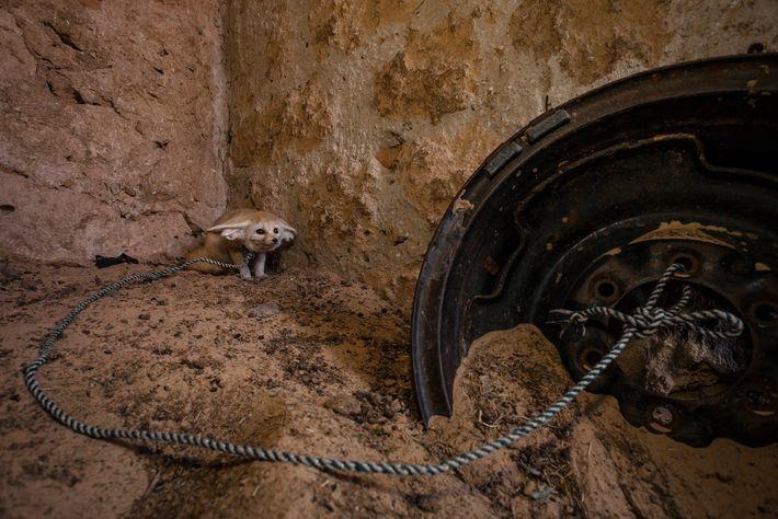 Raposa-do-deserto (Vulpes zerda) adulta capturada na natureza e mantida em cativeiro em um cercado para cabras ...