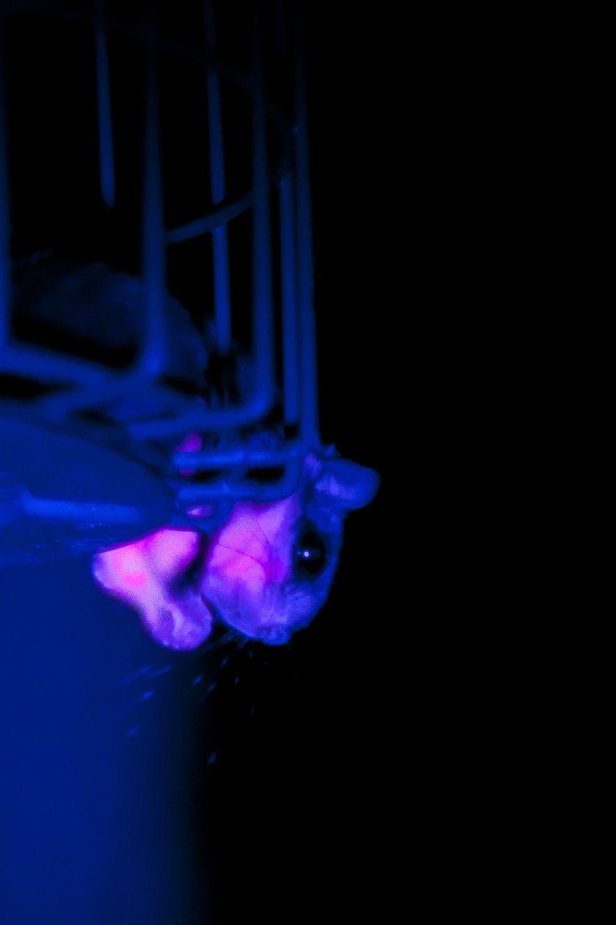 Um esquilo-voador (Glaucomys) fotografado na natureza sob luz ultravioleta. A pelagem do esquilo-voador fluoresce de forma ...