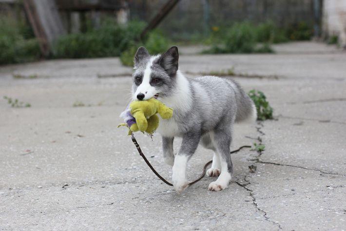 O experimento russo envolvendo a reprodução de raposas gerou animais dóceis, assim como a reprodução seletiva ...