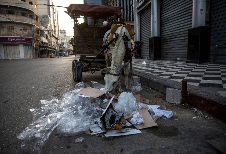 Um jumento vasculha uma pilha de plástico e outros resíduos após os catadores limparem as ruas ...
