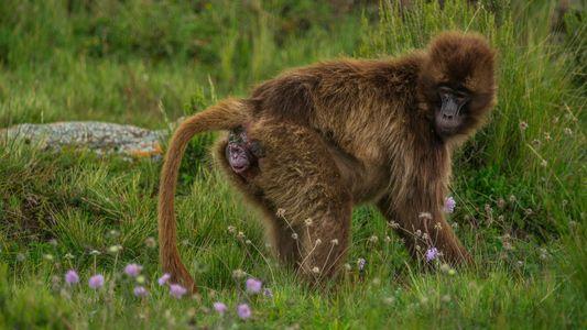 Fotos flagram o exato momento do parto de um macaco