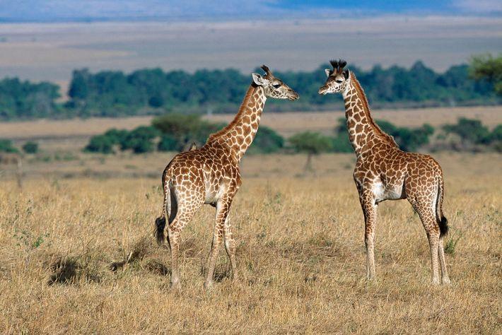 Um estudo recente descobriu que girafas jovens com manchas maiores e mais redondas parecerem ter taxas ...