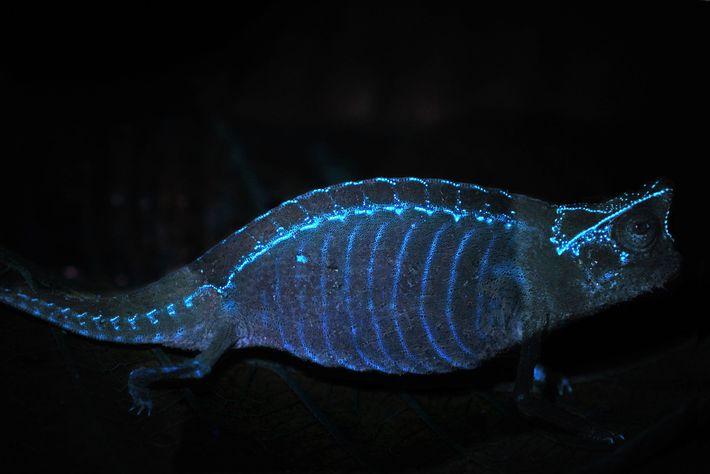 camaleao-fluorescente-brilho