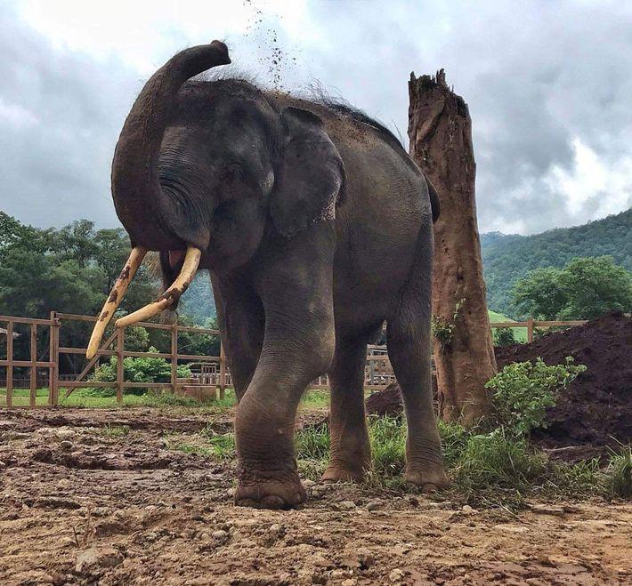 Gluay Hom, livre das correntes, joga lama em suas costas em um campo no Elephant Nature ...