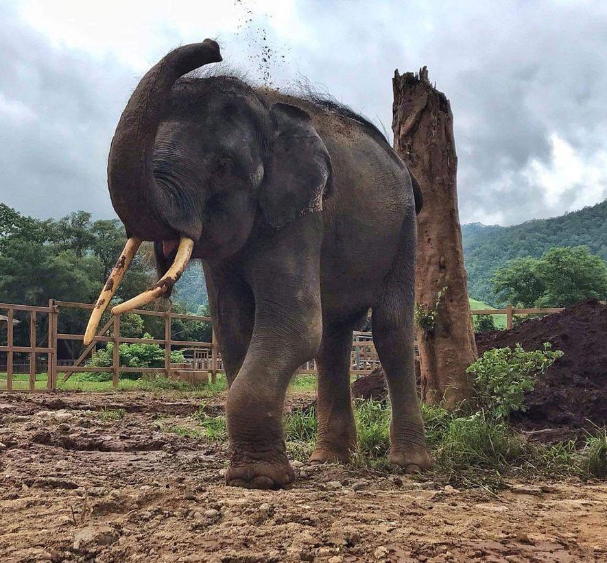 Gluay Hom, livre das correntes, joga lama em suas costas em um campo no Elephant Nature Park, em 8 de agosto.