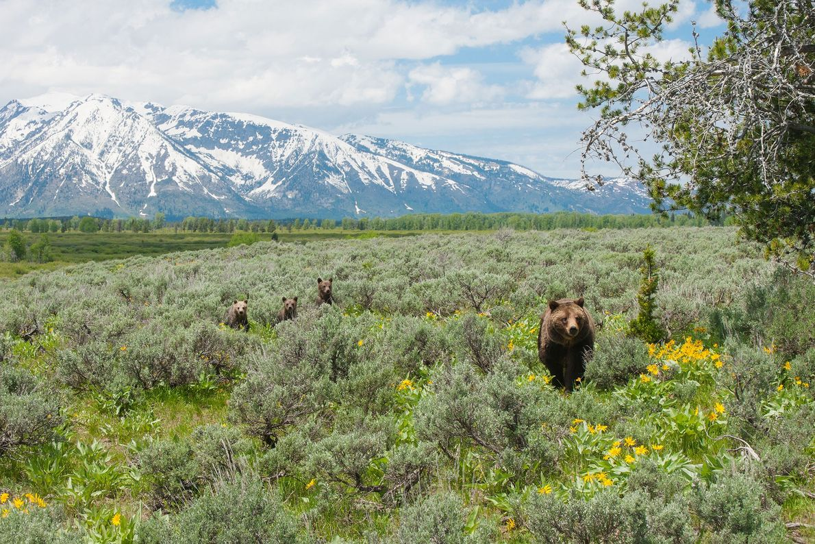 399 e seus filhotes exploram arbustos de sálvia do deserto no Grand Teton.