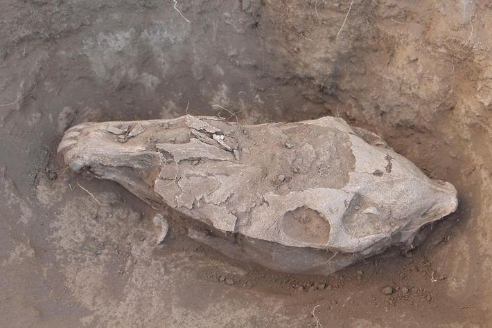 Pesquisadores analisaram evidências de desgaste dos dentes dos crânios e cavalos sacrificados em rituais, assim como ...