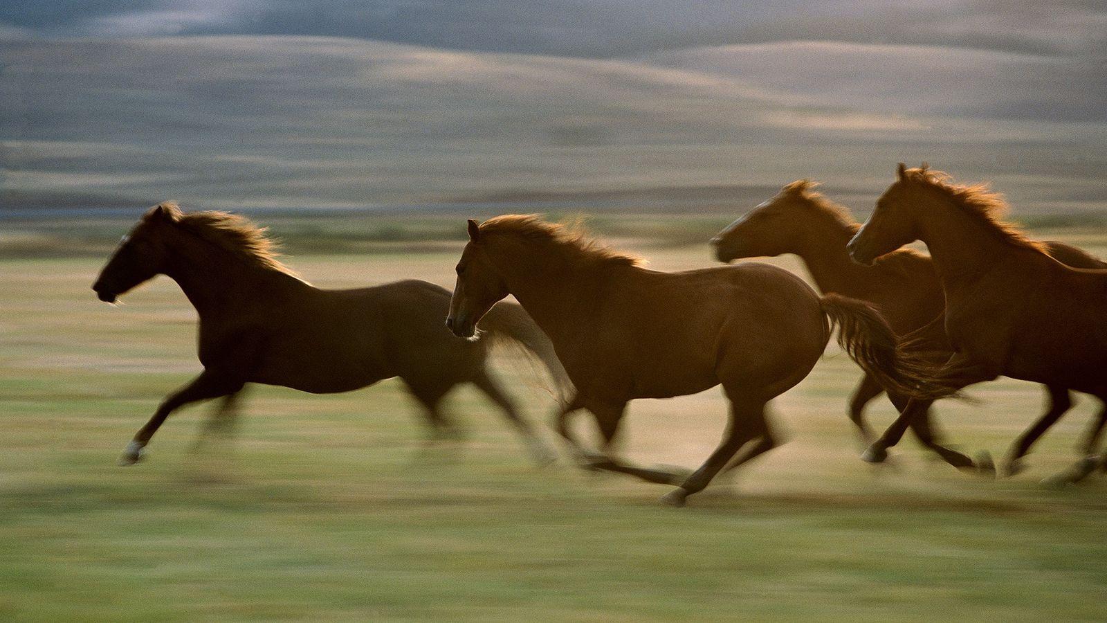 A procriação de cavalos para que sejam mais velozes (na foto, animais no Oregon) acelerou nos ...