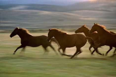 Cavalos velozes evoluíram apenas recentemente, indica importante estudo sobre equinos