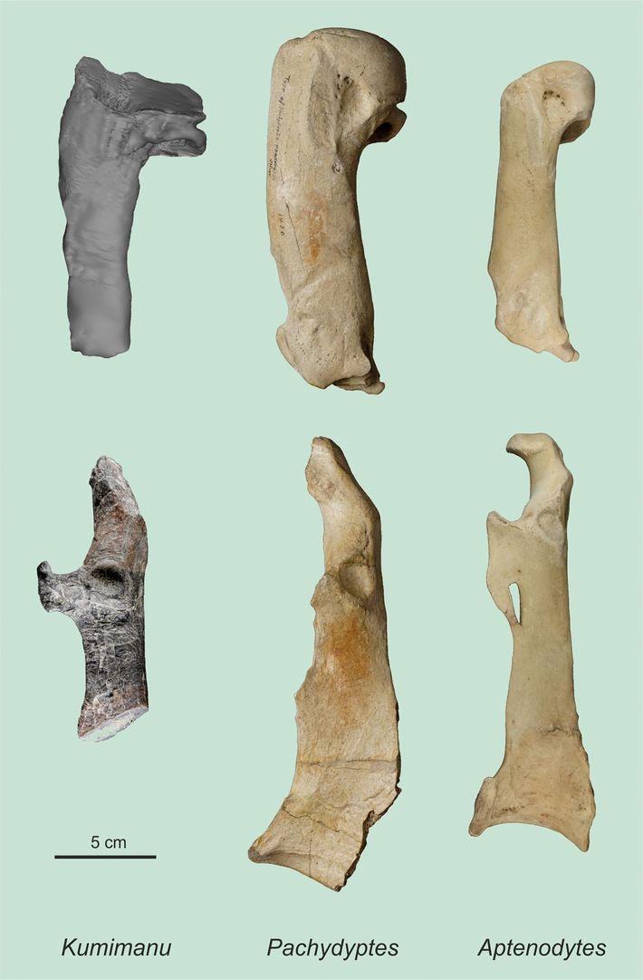 Ossos encontrados de pinguim gigante
