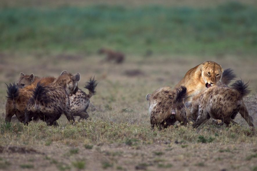 Hienas-malhadas brigam com leões na Reserva Nacional Masai Mara, no Quênia.