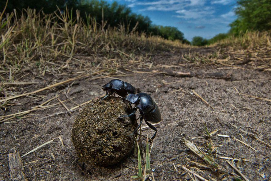 Besouros coprófagos, entre os insetos mais ameaçados, exercem um papel importante na reciclagem de nutrientes e ...