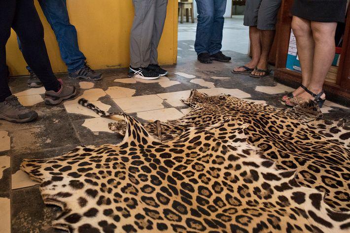 Na América do Sul, dentes e peles de onça-pintada, como esta exibida em um mercado em ...