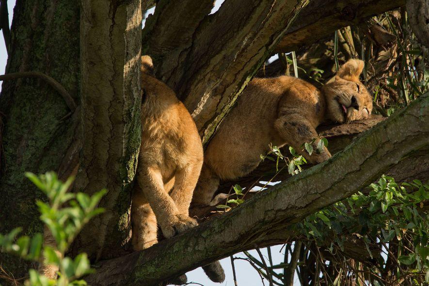 Dois dos oito filhotes que morreram descansam em uma árvore