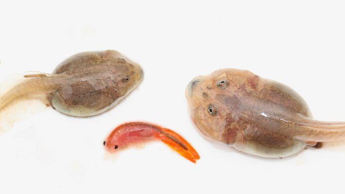 Um girino de sapo-pé-de-espada normalmente se desenvolve como indivíduo onívoro (à esquerda). Mas quando se alimenta ...