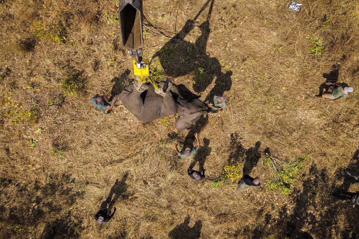 malaui-transporte-de-elefantes