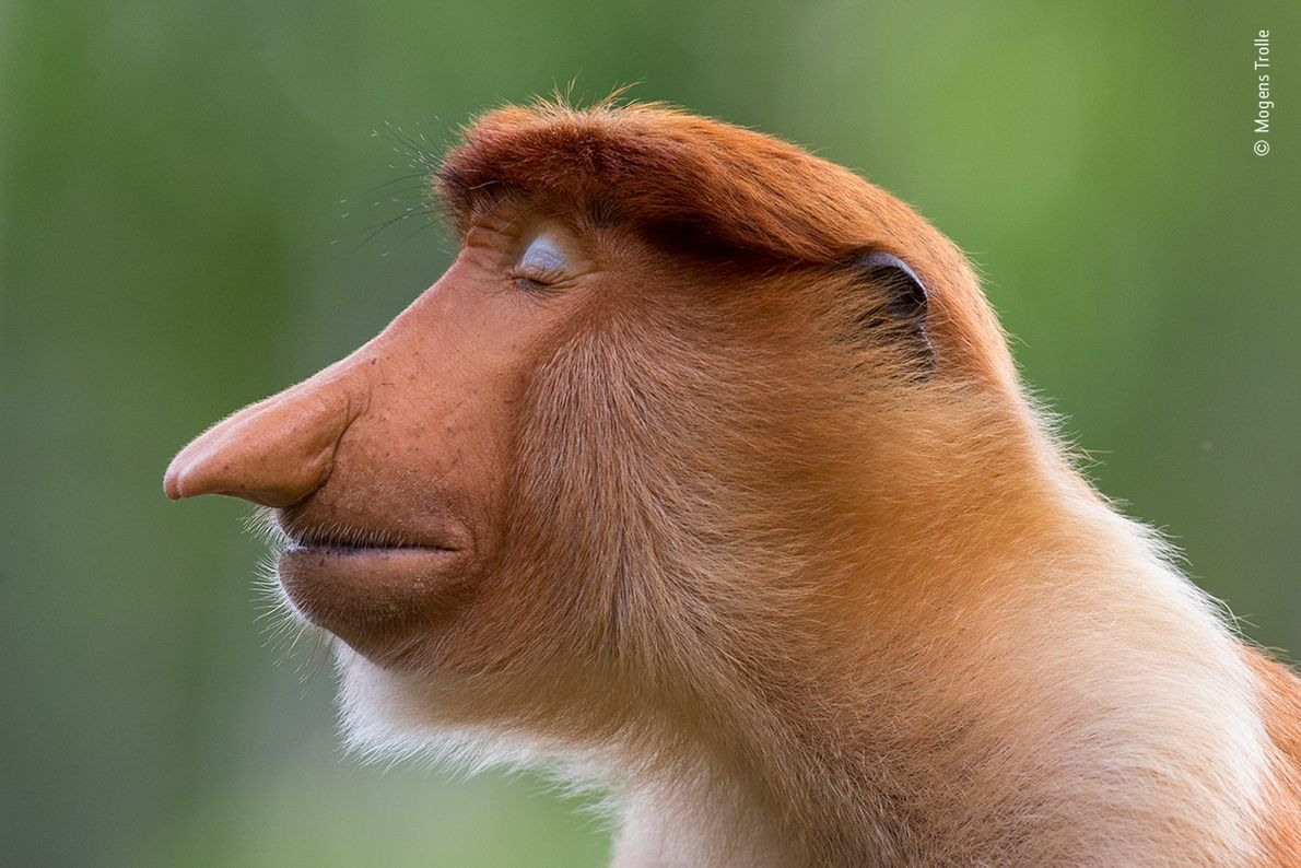 Um jovem macaco-narigudo macho com suas pálpebras azul-claro cerradas. A fotografia, capturada pelo dinamarquês Mogens Trolle, ...