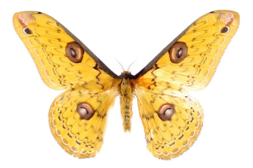 As mariposas desenvolveram uma série de métodos para evitar serem comidas, de vibrações que confundem o ...