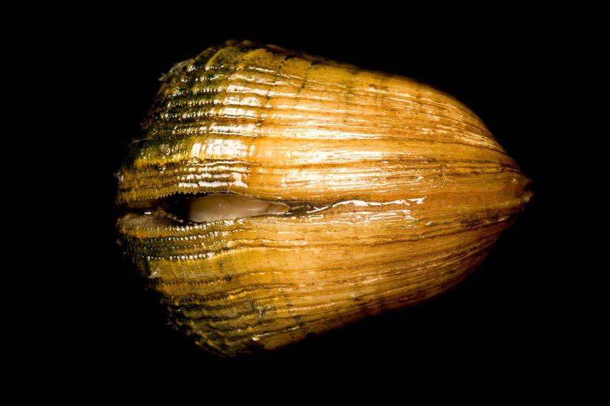 A espécie Epioblasma triquetra, atualmente em risco de extinção, chegou a existir em 18 estados dos ...