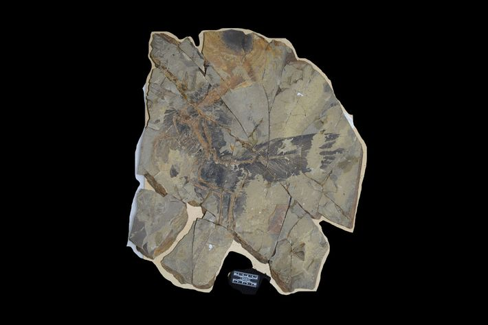 fossil de dinossauro