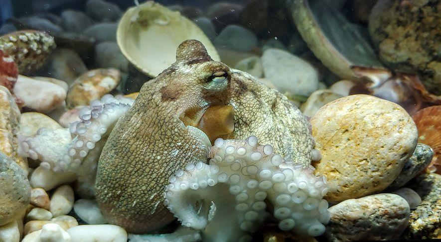 Este jovem polvo-comum do Atlântico foi fotografado no Centro Biomarinho de Pescanova, o laboratório de pesquisa ...
