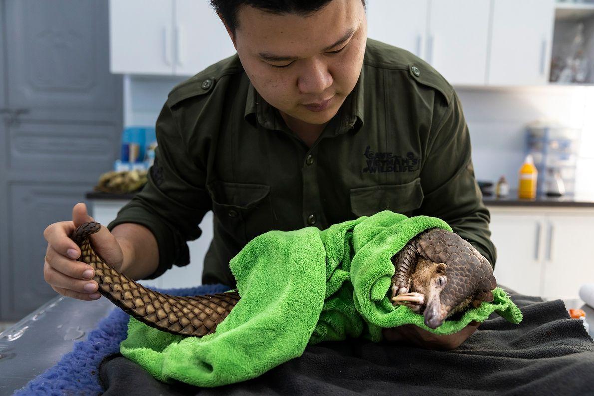 O veterinário Lam Kim Hai trata um pangolim que ficou preso em uma armadilha de caça ...