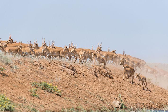 Os saigas se juntam durante os meses de outono para acasalar, tornando os machos com chifres ...