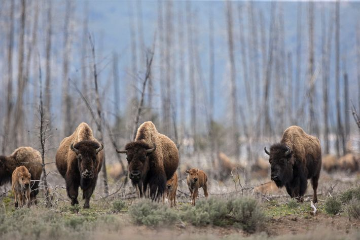 A gestão habilidosa do gado pode simular o impacto positivo que os bisões—vistos aqui vagando no ...