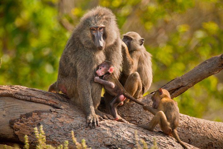 Mais de 600 babuínos-anúbis, que habitam diversas áreas da África, foram assassinados em caçadas esportivas entre ...