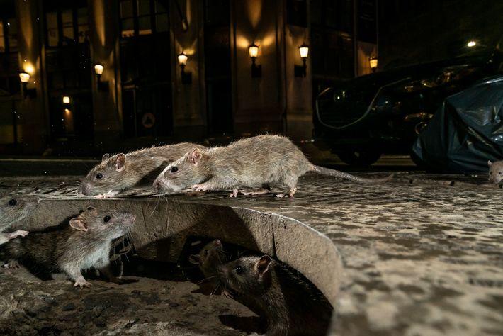 Ratos emergem de um vão na calçada da Pearl Street, na cidade de Nova York.