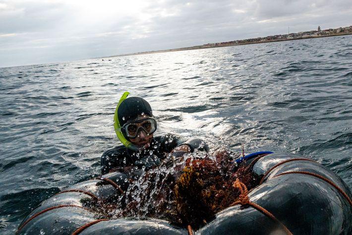 A alga marinha vermelha é processada em ágar, utilizada para o cultivo de culturas em laboratório ...