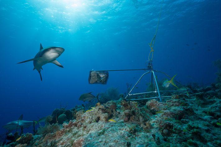 Os tubarões-bico-fino, antes o tubarão de recife mais abundante do Caribe, entrou em declínio nas últimas ...