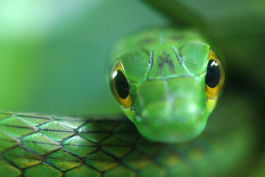 Sete cobras da espécie Leptophis depressirostris foram vistas em um parque panamenho antes da chegada do ...