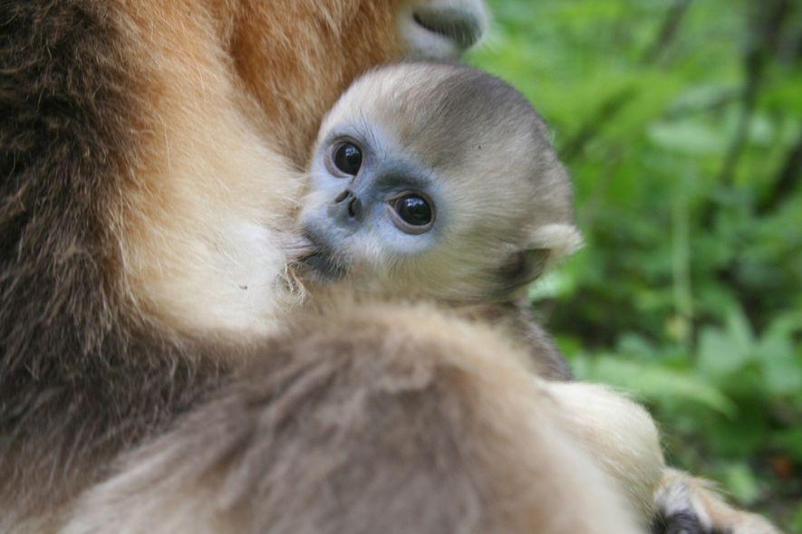 A hipótese dos investigadores é de que a alo-amamentação pode oferecer uma vantagem de sobrevivência a muitos filhotes durante os invernos.