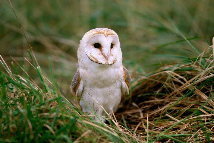 A coruja-das-torres é uma das aves mais amplamente distribuídas da Terra, aparecendo na América do Norte, ...