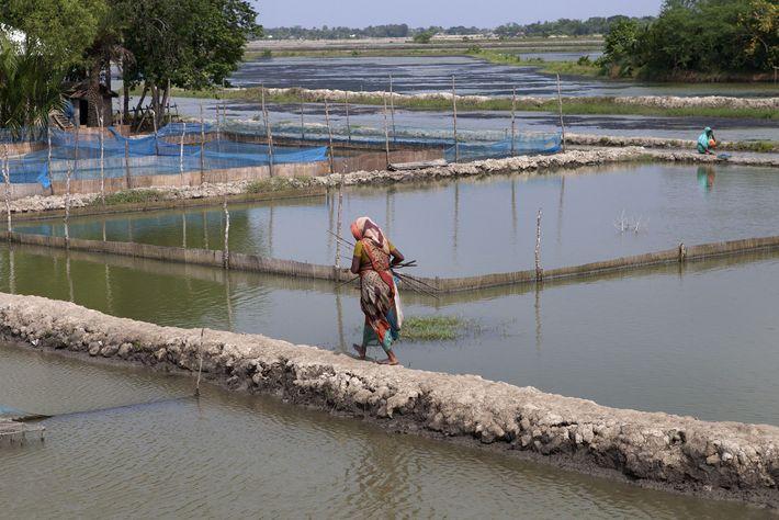 Os tigres matam dezenas de pessoas a cada ano no Sundarbans. Se o marido de uma ...