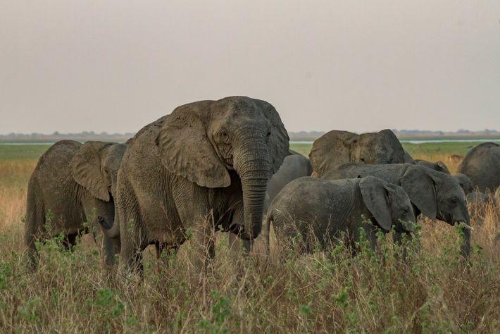 Essa matriarca sem presas caminha com sua manada pela paisagem de Gorongosa.