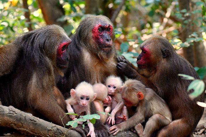 Macacos-urso fêmeas e suas crias normalmente se reúnem em pequenos grupos. A mãe dos gêmeos, TNG-F19, ...