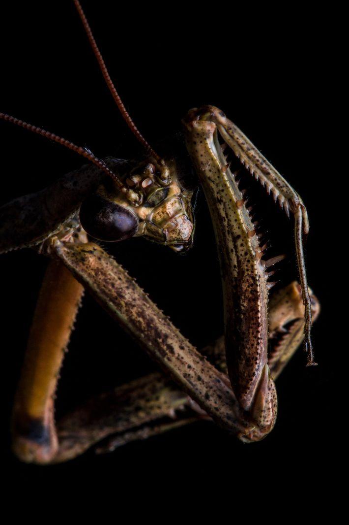 As patas raptoriais frontais, como as encontradas neste Pseudovates, são a característica mais distinta desses insetos. ...