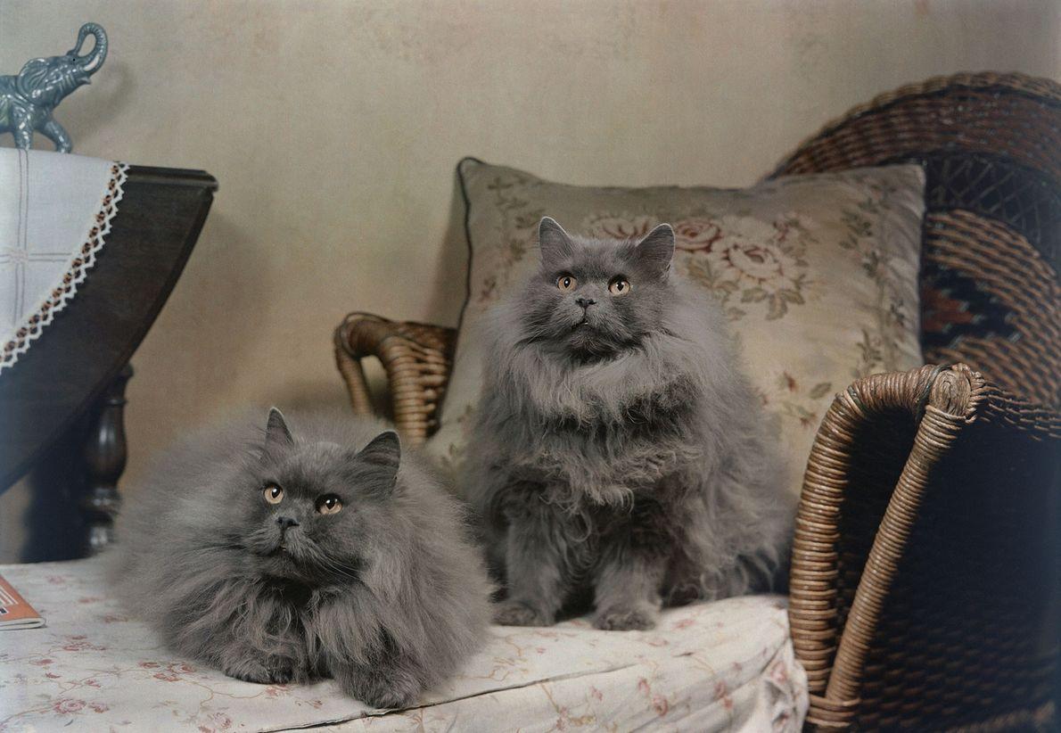 Dois persas azuis posam em uma poltrona reclinável, em Bogota, Nova Jersey. Na época, na década ...