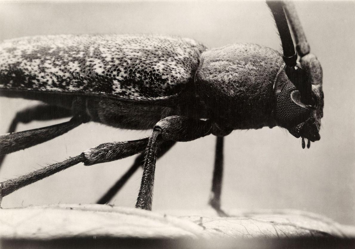 O besouro serrado, nativo da América do Norte, é considerado uma peste, pois ataca árvores como ...