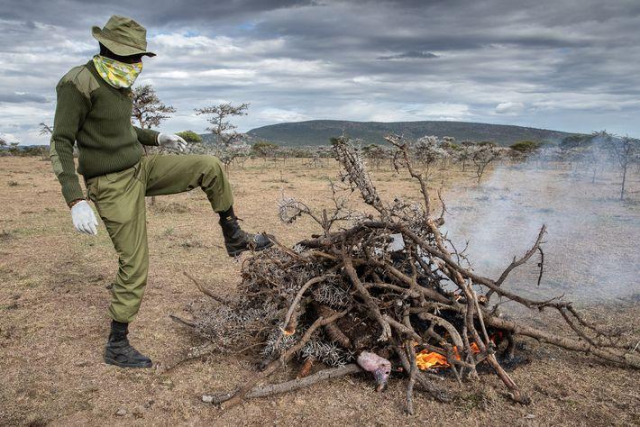 Um guarda florestal faz uma fogueira para incinerar um abutre-torgo morto. O objetivo é destruir seu ...